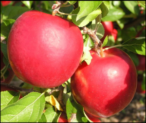 Cover photo for Prune Your Fruit Trees in February!