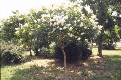 young crape myrtle