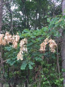 cicada damage on oaks