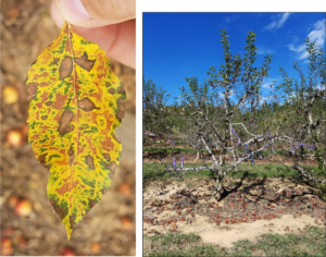 Symptoms of Glomerella Leaf Spot later in the season. Left Photo: Leaf