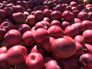 Cover photo for Freeze Damage to Apple Crop Varies by Variety & Location