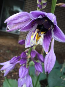 carpenter bee in a flower