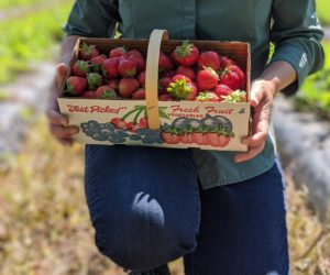 Strawberries in a U-pick basket
