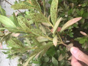 azalea lacebug
