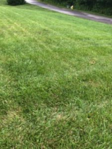 Cover photo for Pest Alert - Rust Fungus in Fescue Lawns