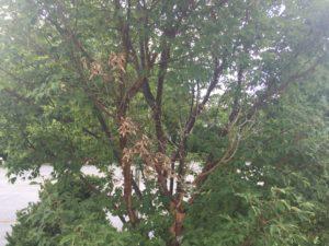 tree decline