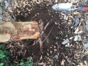 girdling root