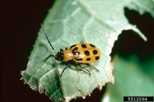 Picture of adult spotted cucumber beetle