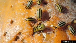 Adult Striped Cucumber Beetles