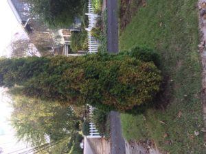arborvitae with canker