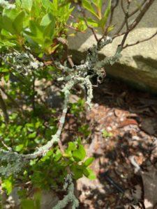 lichen on azalea