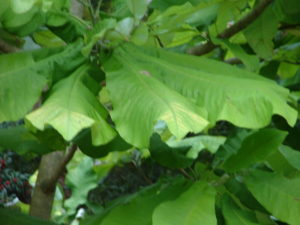 magnolia macrophylla leaves