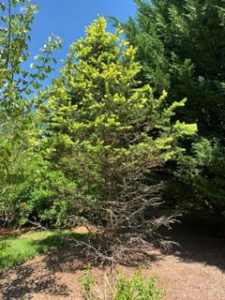 spruce decline