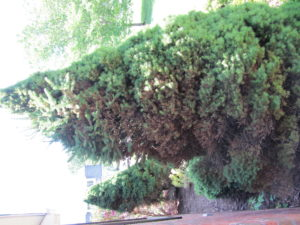 poorly sited dwarf spruce