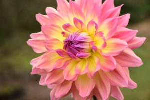 Cover photo for Bullington Dahlia Garden