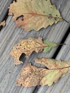 oak leaf spot
