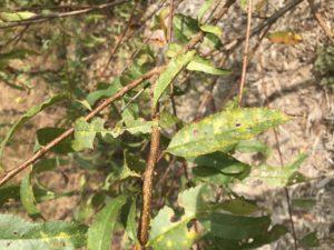 Peach tree close up