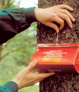 delta trap on tree for gypsy moth