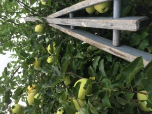 golden apple picking