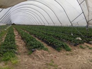 Cover photo for Local Licensed Propagators of Commercial Strawberry Plugs