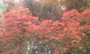 Japanese maple cold damage