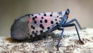 Cover photo for Spotted Lanternfly: Early Detection Key for NC