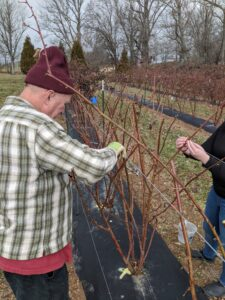 Picture of pruning blackberry canes