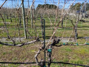 Picture of grape vine prior to winter pruning