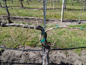 Dormant Grape Vine After Spur Pruning
