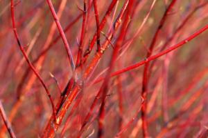 red bark