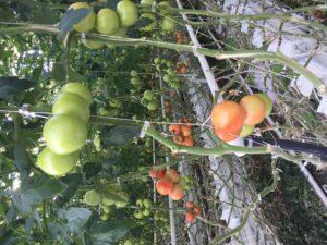 Tomates on vines