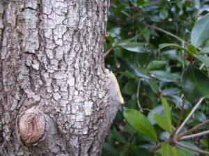 Proper prune cut