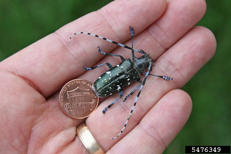 adult-asian-longhorned-beetle-next-to-a-penny-ph