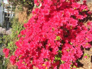 azalea formosa flower