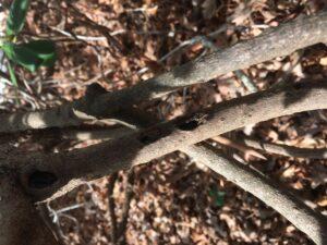 azalea stem borer