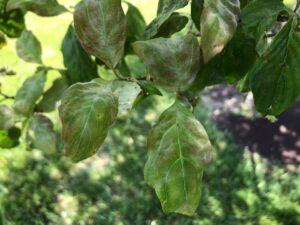 powdery mildew dogwood