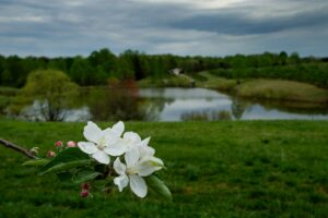 Apple blooms at edge of orchard