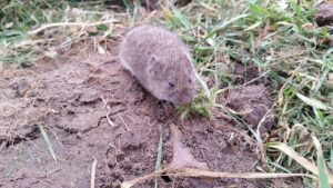 Cover photo for Year Three of the 'Vole Invasion'