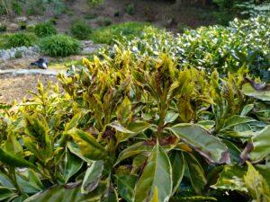 frozen acuba shrubs