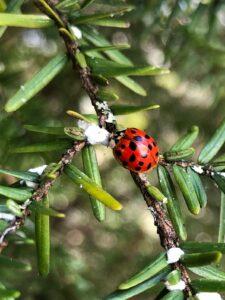 ladybug and hemlock wooly adelgid