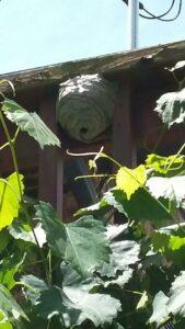 European hornet nest